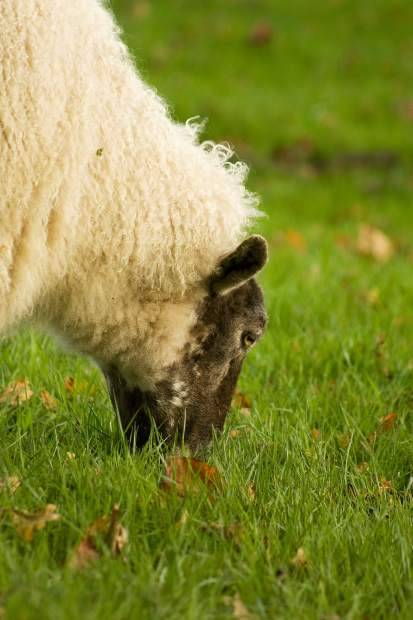 Enterotoxemia: The overeating disease in sheep and goats