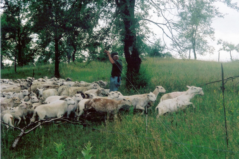 Nebraska producers find profits in Katahdin Hair Sheep