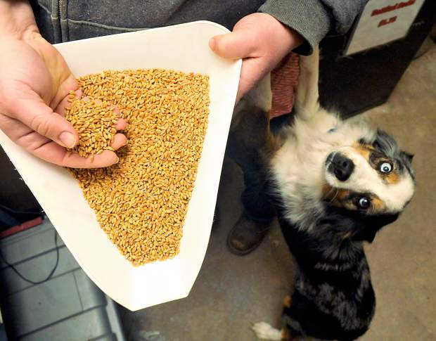 A handful of grain attracts the attention of Tinker, a miniature Australian shepherd, at S T Organics on Tuesday morning in Hereford. S T Organics runs samples of the grain through equipment to help test and keep track of the quality.
