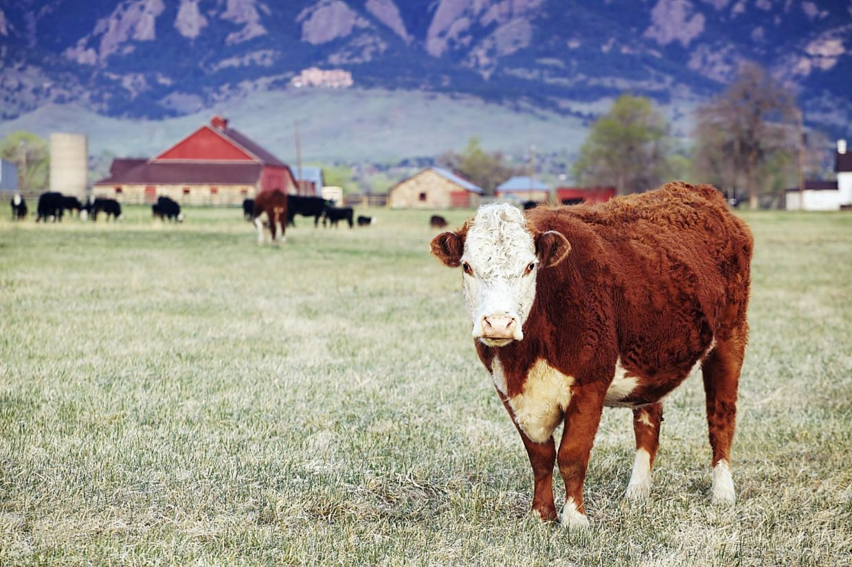 Reducing pain and stress becoming high priority in the cattle industry