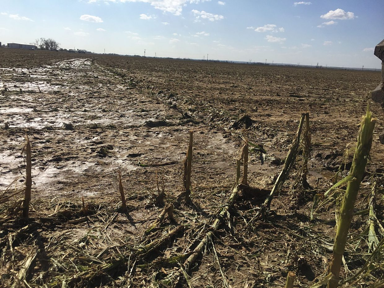 This corn field near Hillrose, Colo., was damaged by earlier hail storms, was replanted, and destroyed again Sunday night,