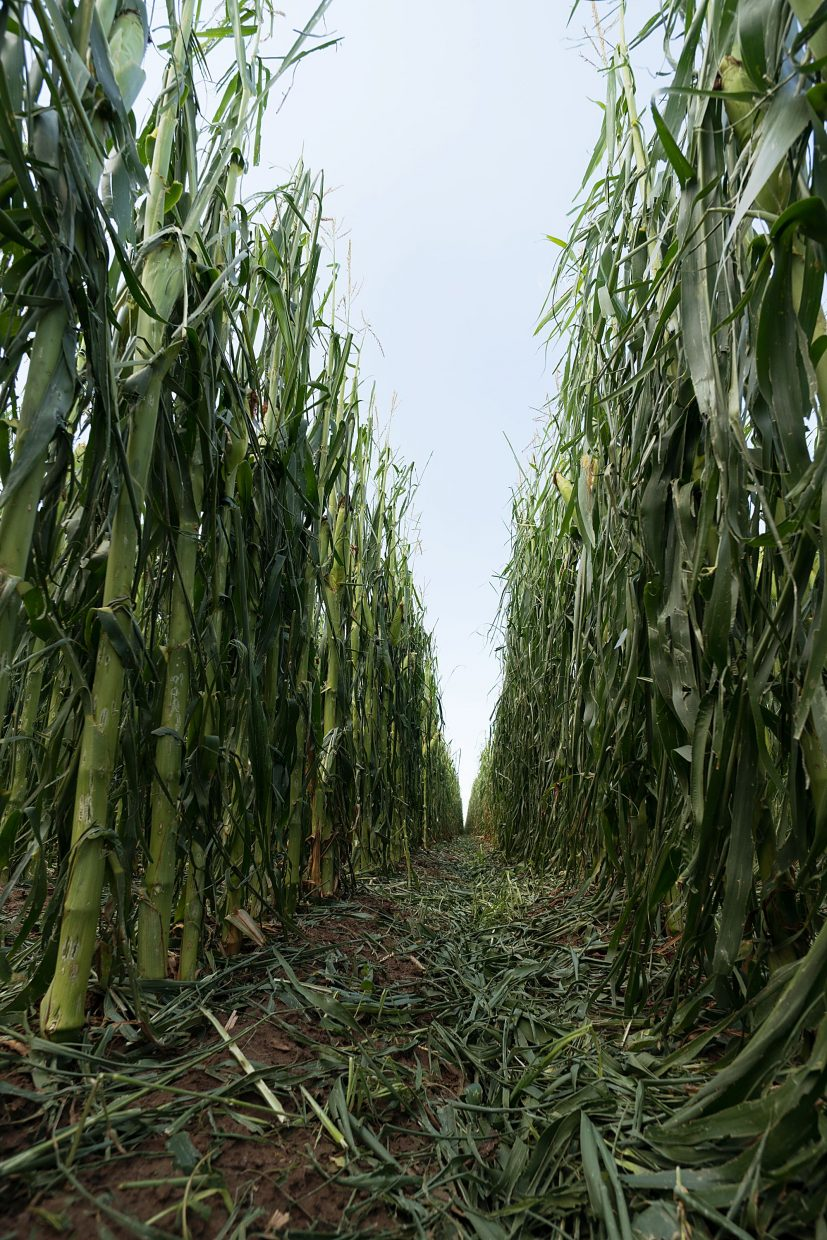 A hail storm stripped leaves off of this corn crop near Greeley, Colo., on Sunday. At this late stage the crop is not expected to recover.