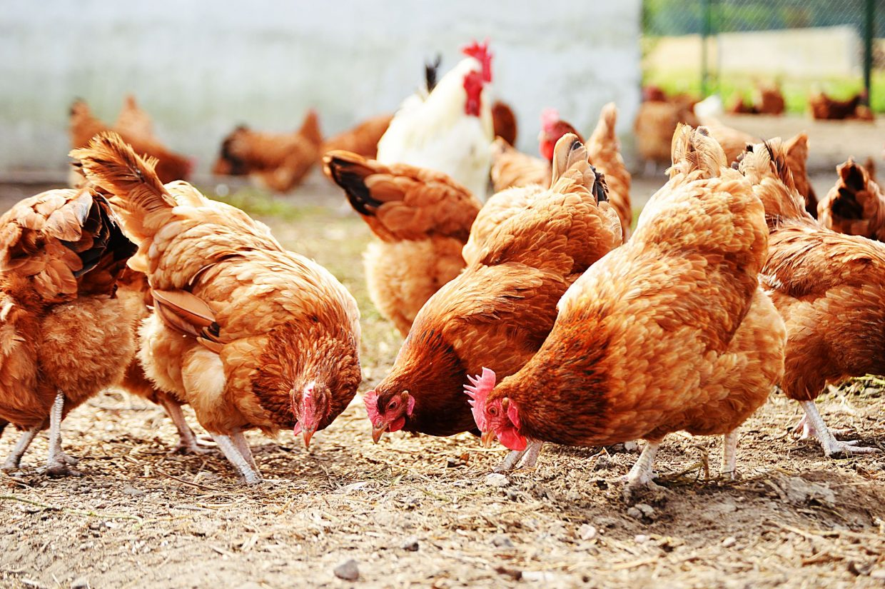 Costco could redefine farm-to-fork by opening its own chicken complex in  Nebraska