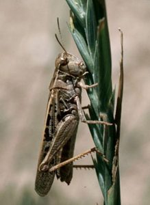 2019 grasshopper populations and risk of infestation and damage in Colorado